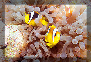 Red Sea Clown Fish pair anenome