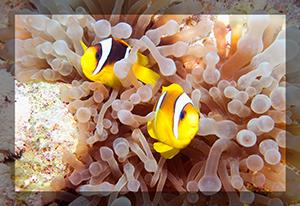 Red Sea Clown Fish pair anenome