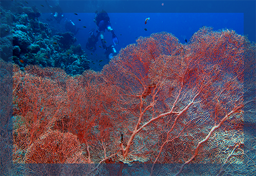 Red Sea Red Fan Coral